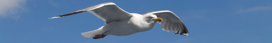 Seagull_flying_(2)22